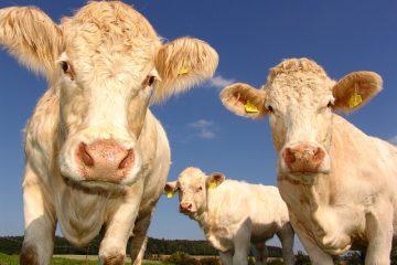 écornage bovins